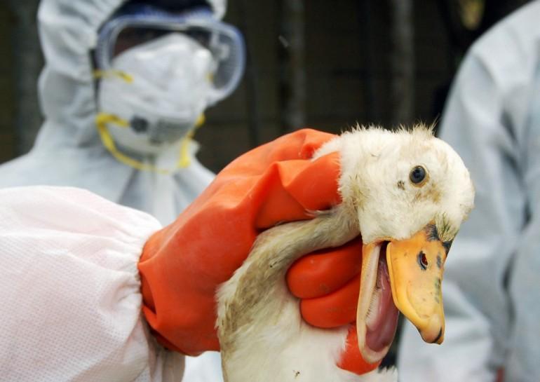 Ecco come si trasmette l'aviaria