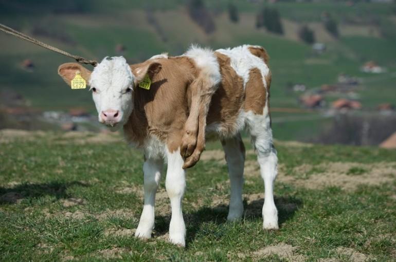 Switzerland Six-Legged Calf