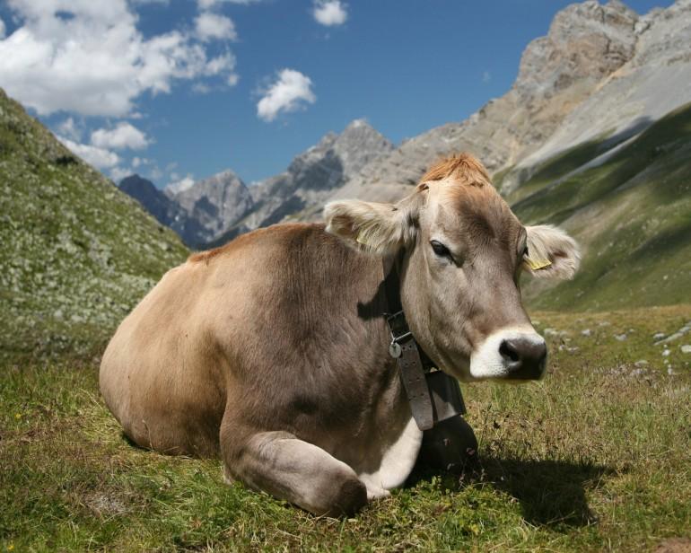 modella-alghero-mucca