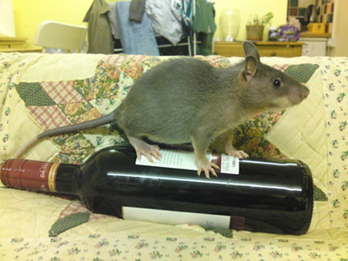 L'invasione dei topi giganti