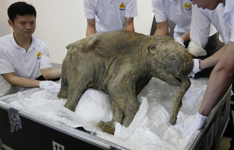 Lyuba, il cucciolo di mammut in esposizione ad Hong Kong