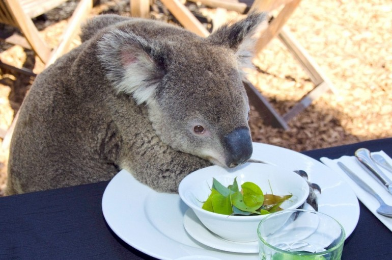 Breakfast With The Koalas