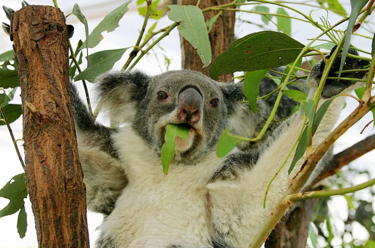 One of over 130 northern koalas (Phascol