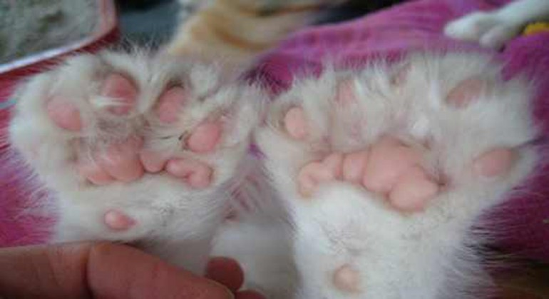 I gatti hanno cinque dita nelle zampe davanti e quattro nelle zampe dietro,
