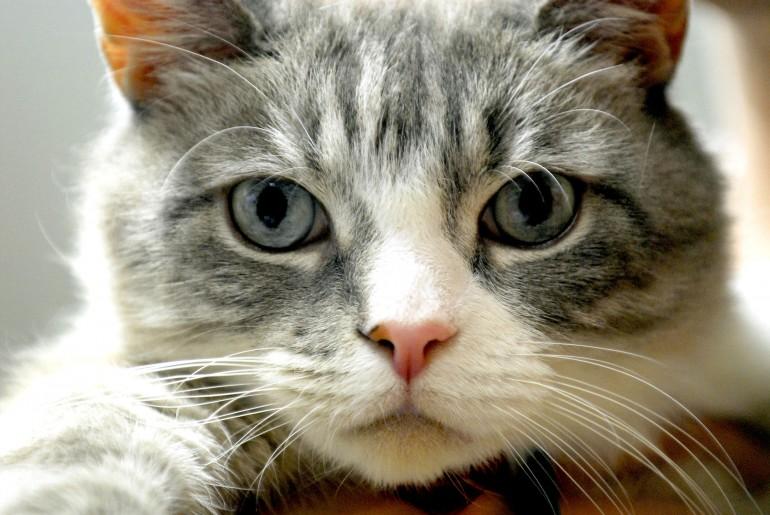 Quanto è intelligente un gatto