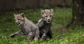 Three Month Old Cheetah Cubs Make Their Debut At Washington's Smithsonian Zoo