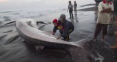 Residents touch a whale shark that died