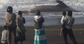 Residents view a whale shark that died o