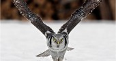 01-Owl-Perfectly-Timed-Animal-Photography