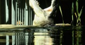 700kg Crocodile Eats First Meal At Sydney Zoo