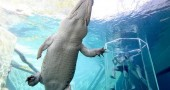 Cage-Of-Death-Crocodile-Dive-Experience-2