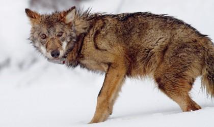 lupo ucciso maremma