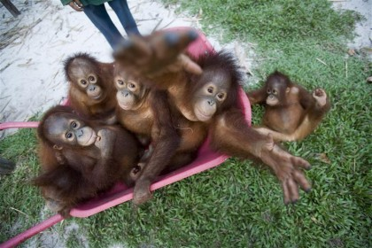 Orangutans at Borneo Orangutan Survival Foundation