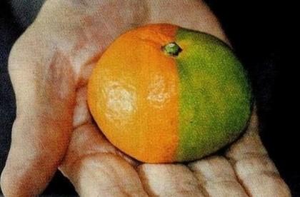 frutta verdura mutante fukushima 7