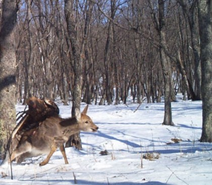 aquila attacca cervo russia 1