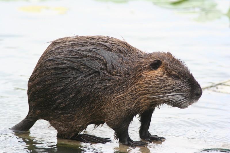 La nutria, originaria del sudamerica, venne importata in Europa per la sua pelliccia. Fuggita dagli allevamenti, si è insediata nei corsi d'acqua divorando la vegetazione e favorendo la formazione di acque aperte