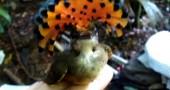 11. Tyrannidae dell'Amazzonia, e la sua cresta colorata Foto: youtube.com