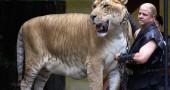 12. Ligers: metà leone, metà tigre Foto:Flickr: techsavi