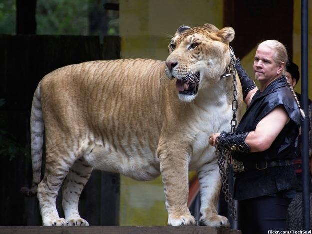 Strongest Big Cat