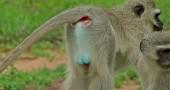 13. Cercopiteco verde Foto: Flickr: berniedup