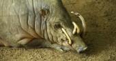 17.  Un babirusa e i suoi corni che continuano a crescere per tutta la vita Foto: Flickr: cactusbeetroot