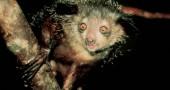 21. Aye-aye: vive solo in Madagascar, ed è un lontano parente dell'uomo Foto: Flickr: 42409752@N07