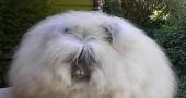 4. Coniglio d'Angora (sì, ci fanno i maglioni) Foto:Flickr: squish_e