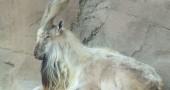 5.  Markhor, è una capra tipica del Pakistan, ma con le corna più lunghe. Molto più lunghe. Foto: Flickr: 37467370@N08