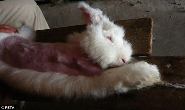 conigli d'angora torturati 7