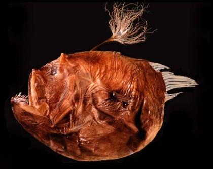 pesci lofiformi sesso 4