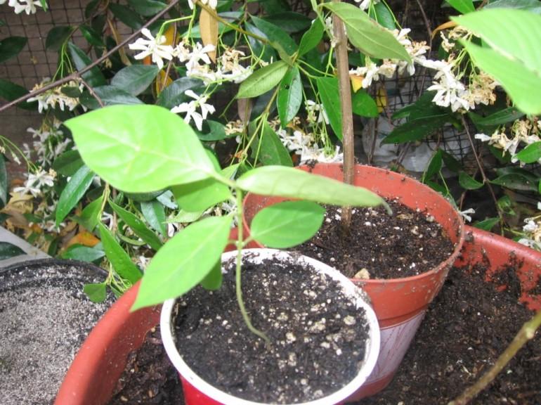 Banisteriopsis_caapi
