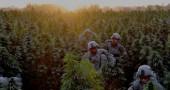afghanistan--marijuana