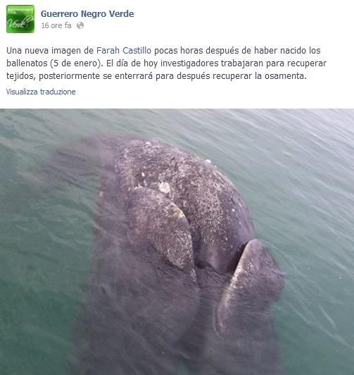 balena bicefala 1