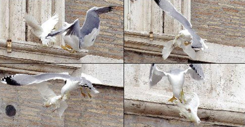 colombe papa attaccate corvo gabbiano 2