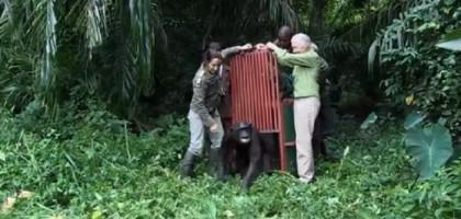 scimpanze liberato 2