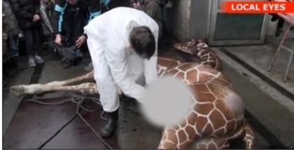 Marius giraffa copenaghen 2