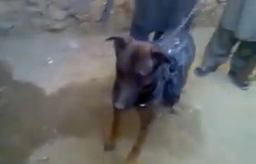 cane catturato talebani 4