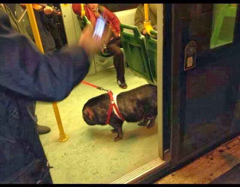 La foto del cinghiale sul tram 8 a Roma