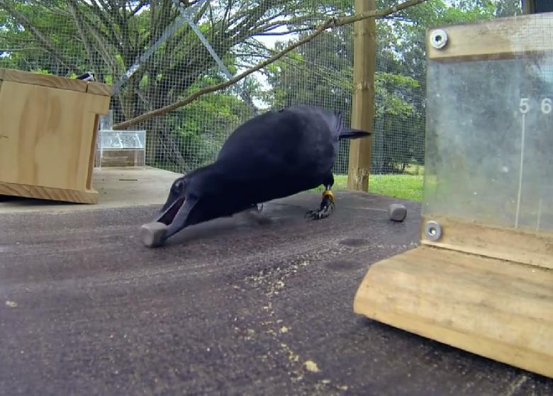 corvo intelligente 4