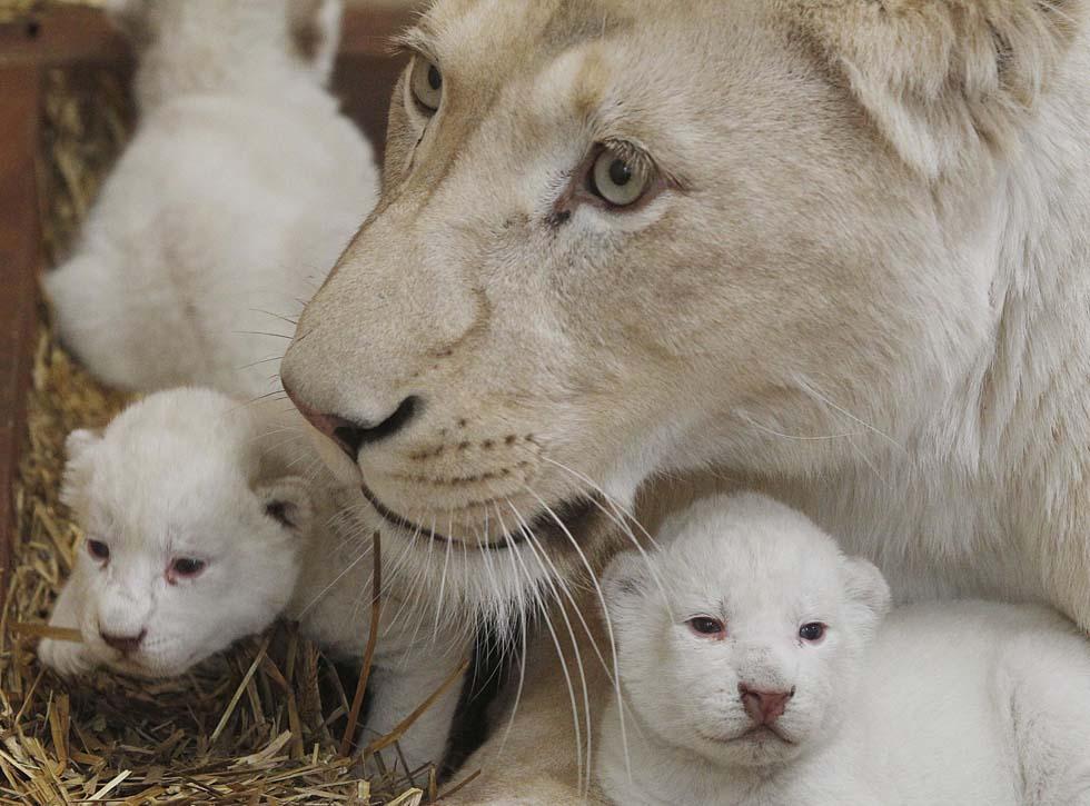 Raro parto trigemellare di leoni bianchi in polonia - Un letto di leoni ...