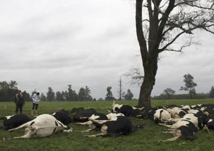 mucche-uccise-da-fulmine (2)