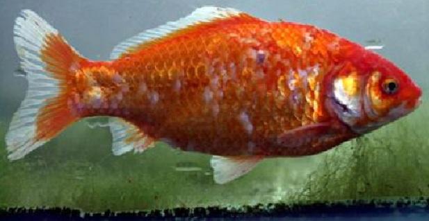 Il ragazzo multato per il video su facebook in cui mangia for Quanto vive un pesce rosso