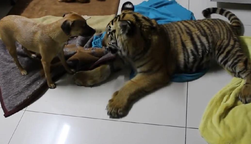 tigre gioca con i cani 3