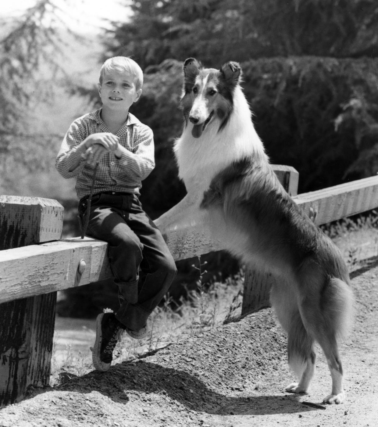 Lassie è il cane di razza collie protagonista di alcuni film degli anni '40 ispirati al racconto breve Torna a casa Lassie. Dal 1954 sono state poi realizzate diverse fortunate serie tv. (Foto da archivio LaPresse. Credit: AP Photo)