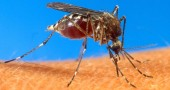 """2. BLOCCALE CON I MUSCOLI - Non sempre si riesce a """"spiaccicare"""" una zanzara mentre questa è intenta a succhiare sangue da un braccio o da una gamba: più che altro perché, semplicemente, non ci accorgiamo di quello che sta succedendo. Tuttavia, in caso doveste notare l'odioso insetto posato su un braccio o una gamba, provate a contrarre il muscolo di quella zona: alla zanzara risulterà più difficile volare via, e voi potrete procedere alla fase B - La classica manata.  (Foto: AP Photo/USDA, File)"""