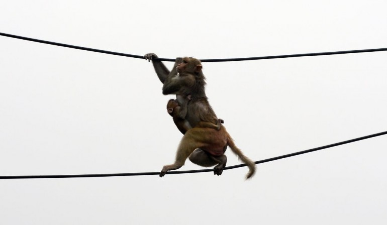 A macaque monkey, with an offspring clutching onto its torso, balances between two power lines above a parking lot in downtown New Delhi on August 27, 2012. Thousands of monkeys live on the rooftops of downtown Delhi. Despite considered a nuisance they cannot be killed because many Indians see them as sacred. AFP PHOTO/ Prakash SINGH (Photo credit should read PRAKASH SINGH/AFP/GettyImages)