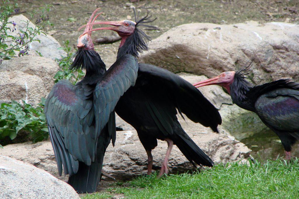 Esemplari di ibis eremita (via Wikimedia)