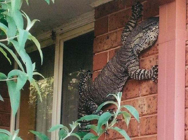 Australia la lucertola di 1 5 metri sul muro di casa - Disegnare sul muro di casa ...