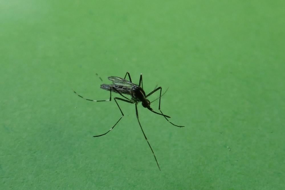 Rimedi naturali contro le zanzare giornalettismo - Rimedi contro le zanzare in giardino ...