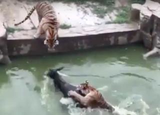 asino sbranato da tigri